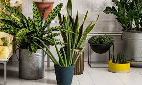 decorative plants for home elegant spiral lucky bamboo indoor
