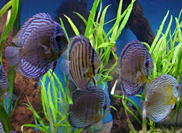 ornamental fish industry faces increasing problems with antibiotic
