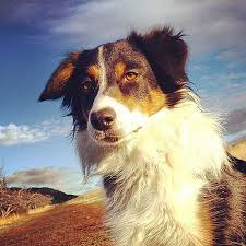 australian shepherd kid friendly australian shepherd photo of the month