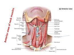 Human Anatomy Anterior 8 Triangles Of The Neck