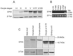 ep45 accumulates in growing xenopus laevis oocytes and has oocyte
