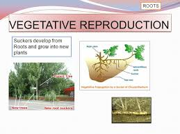 Vegetative Propagation By Roots - comparing asexual and sexual reproduction ppt video online download