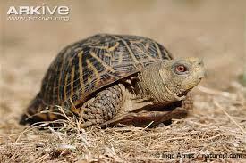ornate box turtle photos and facts terrapene ornata arkive