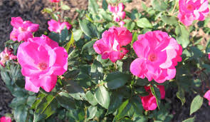 Plants Blooming Roses Are Red Blooming Flower Plant Petals Farming Garden Song
