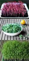 grow an indoor salad garden with soil sprouts page 2 of 2