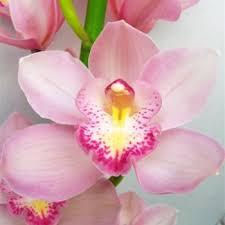 cymbidium orchid orchids light pink bulk flower