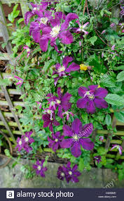 garden clematis growing up wooden trellis u0027warsaw nike and