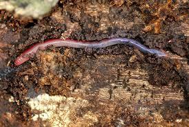 diversityoflife2012 earthworm