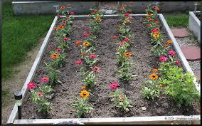 zinnias stephi gardens