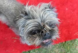 affenpinscher monkey dog beauty is not welcome here monkey a brussels griffon owned by