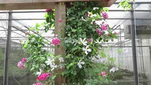 clematis and climbing roses youtube