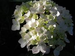 white hydrangea free photo white hydrangea flowers blossoms free image on