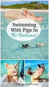 swimming with pigs in the bahamas fun things caribbean and swimming