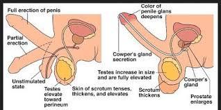 panduan cara membesarkan penis secara alami tanpa obat