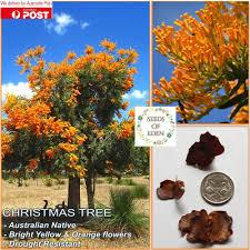 australian christmas 7 western australia christmas tree seeds nuytsia floribunda