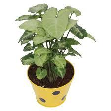 indoor plants india buy indoor plants online in india 2000 indoor plants shop