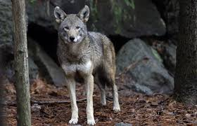 Connecticut wild animals images Decision imminent on fate of world 39 s only wild red wolves