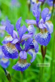 Iris by 226 Best Iris Plants Flowers Images On Pinterest Iris