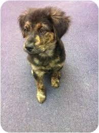 australian shepherd collie mix pilot adopted puppy d3039 coppell tx australian shepherd