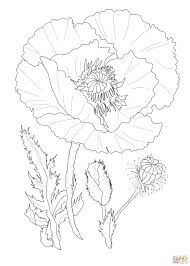 poppy flower coloring page free printable coloring pages
