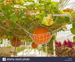 pumpkins trained to grow on hanging trellis at disney u0027s living
