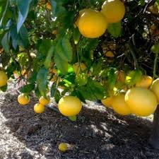 brite leaf citrus nursery high quality citrus trees