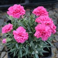 dianthus flower dianthus perennial costa farms