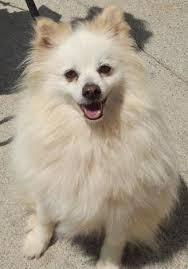 american eskimo dog vs pomeranian dog finder adopt a dog or cat near you coats american eskimo