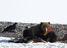 Hungry Bears Perishing On Western Montana Highways Local - brown bear wikipedia