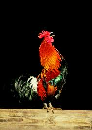 changes in the color of a rooster u0027s comb animals mom me