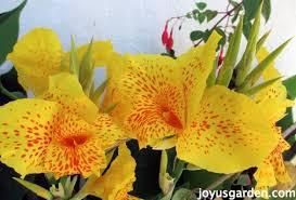 Canna Lilies Flower Friday Canna Lilies