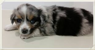 australian shepherd 14 weeks blue merle mini aussie puppy stonger miniature and standard aussies