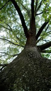 historic and landmark trees