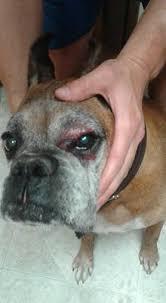 boxer dog health questions swollen raw around dog right eye