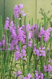 native chinese plants best 25 obedient plant ideas on pinterest white flowers plants