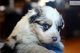 australian shepherd 16 weeks australian shepherds are the best looking dogs in the world