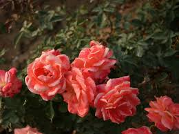 china with roses wholesale floribunda bush