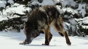 hunting with the dark wolf wild yellowstone video nat geo wild