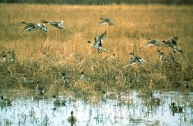 free picture flock pintail duck swimming swamp water