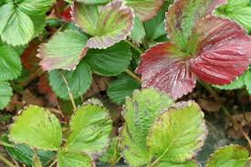 Deficiency Diseases In Plants - what does nitrogen deficiency really look like in strawberry
