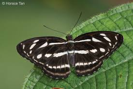 the butterfly origin of some common names of butterflies