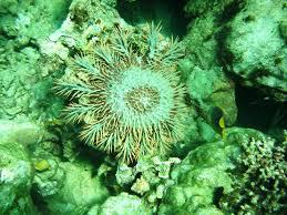 the thorny issue threatening the coral reefs of pilbara csiroscope