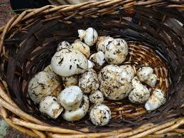 matsutake tricholoma magnivelare cape cod mushroom