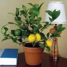 How To Grow A Bulb In A Vase Wonderful Growing Tulips In Vase Growing Tulips Gardens And Plants