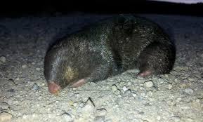 Moles Blind Glow In The Dark Golden Mole Garden Route Trail