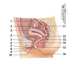 Human Ear Anatomy Quiz Femalerepro Jpg