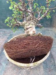 87 best bonsai images on bonsai trees gardening and