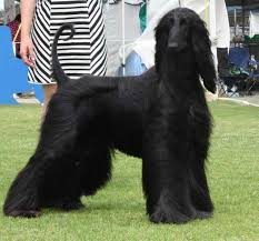 afghan hound pictures afghan hound