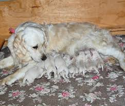 white golden retriever puppies white oak golden retrievers u0027s blog