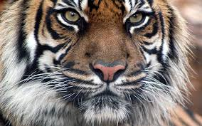 tiger wallpapers free download group 77